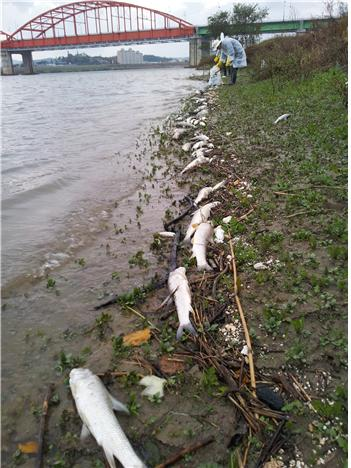 ▲ 밤새 떠올라 금강을 따라 끝도 없이 이어진 물고기 사체, 2012년 10월 27일 새벽 5시반경,