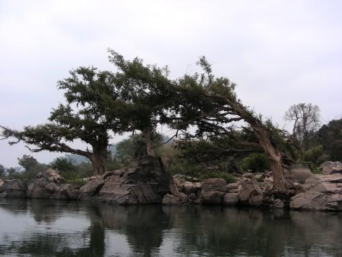 [매컹 씨판던]: 라오스 남부 메콩 강변 나무들 모습. 우기의 엄청난 메콩의 수량에 적응해 이렇게 휘어져 자란다.